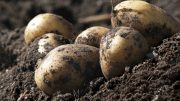 organic potatoes on a field ; Shutterstock ID 154576274