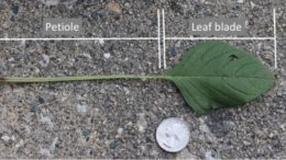 A petiole longer than the leaf blade is the most reliable vegetative trait to distinguish the two pigweeds. Not all leaves on a Palmer amaranth will have this trait. Photo credit Robert Hartzler, Iowa State University