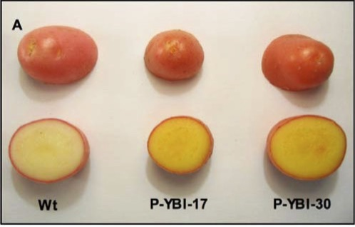 Golden potatoes, shown in the two examples on the right, pack more vitamin A and vitamin E than traditional white potatoes, seen on the left.